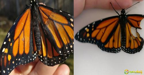 woman performs surgery on monarch butterfly with broken wing, next day it surprises her in the coolest way