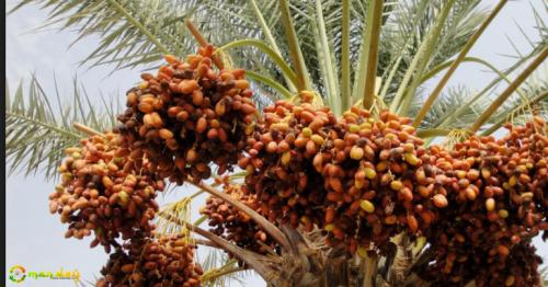 Date palms a key source of livelihood for Omanis