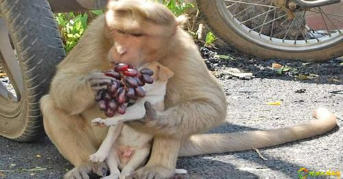 Monkey Adopts Puppy, Defends It From Other Stray Dogs And Gives It Food