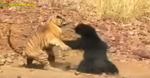 When a sloth bear took on a tiger in vicious fight at Tadoba Andhari Tiger Reserve – WATCH viral video