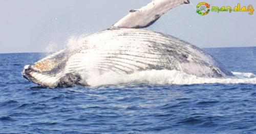 Arabian Humpback Whale Completes Return Journey To Masirah Island