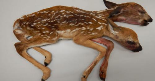 Two-headed white-tailed deer found in US forest Minnesota