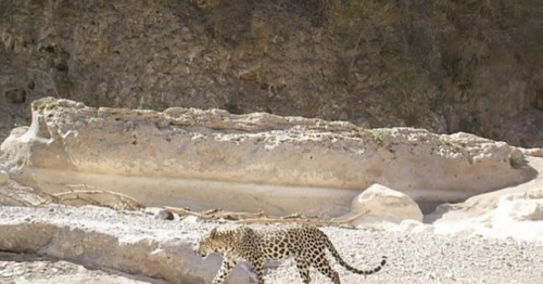 Environment Authority publishes picture of Arabian Leopard in Dhofar